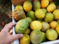 【A・B品混合】リスボンレモン5kg有機JAS(広島県瀬戸内海の恵み普及会)産地直送ふるさと21