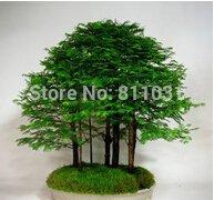Metasequoia glyptostroboides - - 10 Pcs métaséquoia Bonsai Tree Grove Nettoyage de l'environnement Très belle feuille