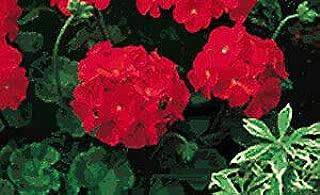 Geranium Pinto Premium Red Deep 100 Seeds Need More? Ask