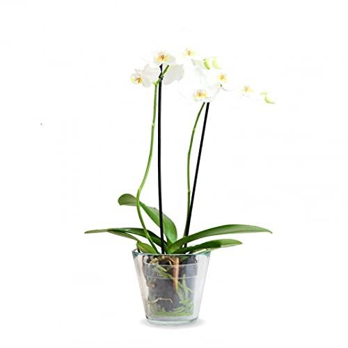Planta Orquidea phalaenopsis natural 2 tallos maceta Ø12cm - Verdecora… (Blanca)