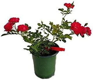Red Drift Groundcover Rose - Live Plant - Quart Pot