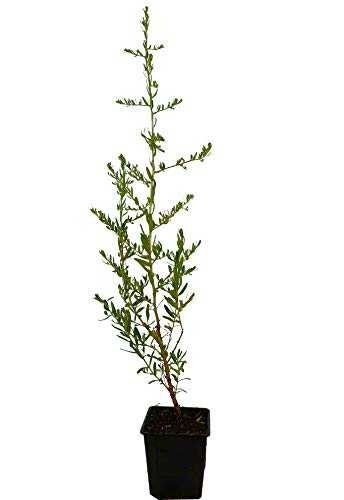 Seedeo® Sanddorn (Hippophae rhamnoides) ca. 30-50 cm hoch