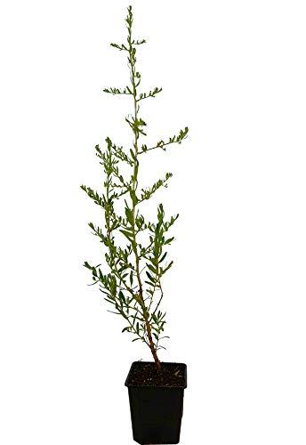 Seedeo® Sanddorn (Hippophae rhamnoides) ca. 50 cm hoch