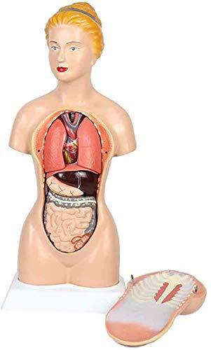 LBYLYH Weiblicher Torso Modelle Anatomie-Modell der menschlichen Torso 16 Teile, Nicht giftig, Umweltfreundlich, haltbar für Bildung