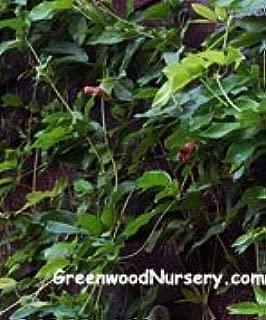 tangerine beauty crossvine seeds