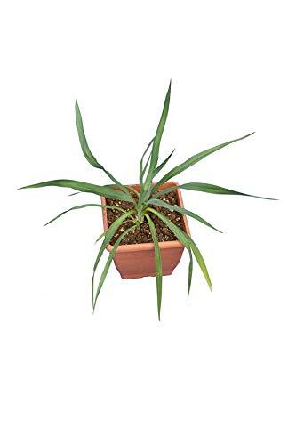 Fädige Palmlilie - Yucca filamentosa - Gesamthöhe 25-35 cm - 14x14 cm Topf