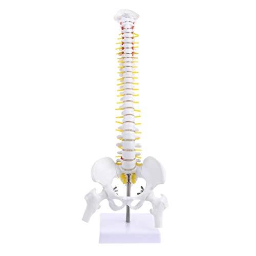 XIOFYA 45 cm Flexible 1: 1 Modelo de Espina Dura Lumbar para Adultos Modelo de Esqueleto de Humanos con Modelo de Pelvis de Disco espinal Utilizado para Masaje, Yoga (Color : Blanco)