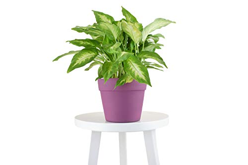 Leaf & Linen Favorites Collection The Dumb Cane Dieffenbachia Amoena 'Camille', Wide Bushy Leaves Bright-Light Indoor Houseplant, Fuschia