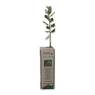 Plant/ón de madro/ño 1 unidad