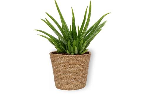 Aloë Vera Clumb -Echte Aloë Vera Pflanze - Zimmerpflanze im braunem Korb - Höhe +/- 25cm inklusive Topf - 12cm Durchmesser (Topf) - Pflegeleicht Luftreinigung