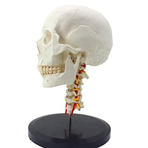 Modelo de cráneo Humano: Modelo de cráneo Humano de tamaño Natural con vértebra Cervical extraíble, Modelo ortopédico de arteria, Modelo de exhibición de Estudio de Aula de Ciencias, Modelo de