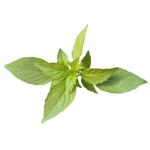 Nepeta Cataria Samen 100+ Bio essbare Kolibri Minze Kräuter Gemüse Tee einfach zu züchten Pflanzen Samen zum Pflanzen Garten Hof nach Hause