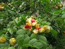 Dichondra 10 Tulsa Mall Lignum Tree Seeds Indefinitely Vitae