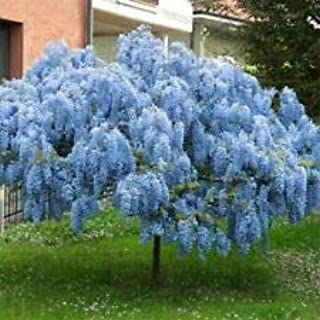 Spring Planting Stunning Live 2 Chinese Blue Weeping Wisteria Tree 18