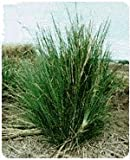 Vetiver Root, Whole - Wildcrafted - Vetiveria zizaniodes (454g = One Pound) Brand: Herbies Herbs