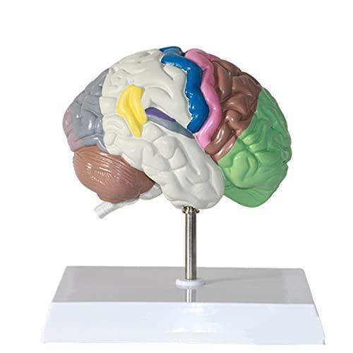 Modelo de medio cerebro del cuerpo humano, réplica de la anatomía del cuerpo humano del cerebro normal, modelo de cerebro para neurociencia, modelo de cerebro anatómico para la herramienta educativa