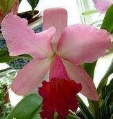 Kalash New 20pcs Cattleya Blumen-Samen für Gartenhellrosa