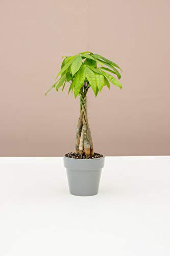 Lively Root Lil' Bit Money Tree Plant | 4-Inch Ceramic Pot | Live Indoor House Plants for New Plant Parents | Home or Office Decor | Pachira aquatica