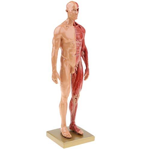Modelo Anatómico Humano Figura Masculina Estructura Muscular Suministros de Laboratorio 30cm
