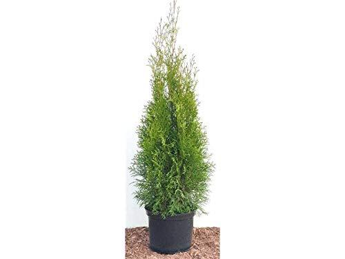 Edel Thuja Smaragd immergrüner Lebensbaum Heckenpflanze Zypresse im Topf gewachsen 80-100cm (1 Stück)