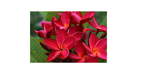Frangipani with an enticing fragrance