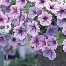 semences maison de jardin de 100 Petunia graines mirage sélection multi-couleur
