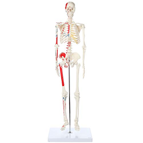 "Axis Scientific Mini Human Skeleton Model with Metal Stand - 31"" Tall with Removable Arms and Legs, Painted and Numbered Muscle Insertion and Origin Points - Includes Detailed Product Manual for Study and Reference, Worry Free 3 Year Warranty, Easy to Assemble"