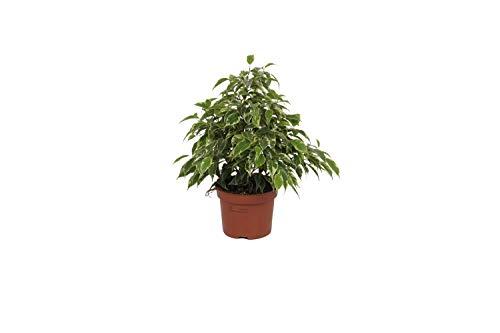 Zimmerpflanz Ficus Kinky - ± 25cm hoch...