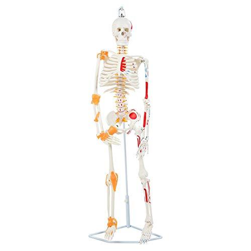 Modelo de esqueleto humano - Modelo de esqueleto anatómico Incluye base y varilla de soporte - Modelo de esqueleto para la enseñanza anatómica de laboratorio Herramienta de ayuda visual(85cm)