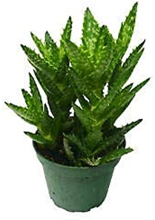 1 Aloe Succulent 'Tiger Tooth' 4