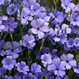 Silène Blue Angel Flower Seeds (Viscaria oculata) 100 + Graines (400+)