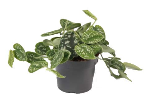 Efeutute, Scindapsus, (Epipremnum aureum) Sorte: Pictus, gepunktetes weiss-buntes Blattwerk, rankend, Ampelpflanze, luftreinigend (1 Pflanze im 12cm Topf)