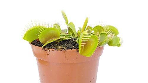 Fangblatt - Venusfliegenfalle - Dionaea Muscipula vom Fachhändler - blühfähige Fleischfressende Pflanze - natürlicher Fliegenfänger