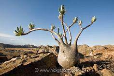 Shopmeeko 20 plantas de plantas de pie de elefante raro de Raras una alta tasa de supervivencia de árboles en maceta Patio de jardín: Blanco
