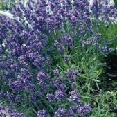 Lavender - Munstead Dwarf - 400 Seeds