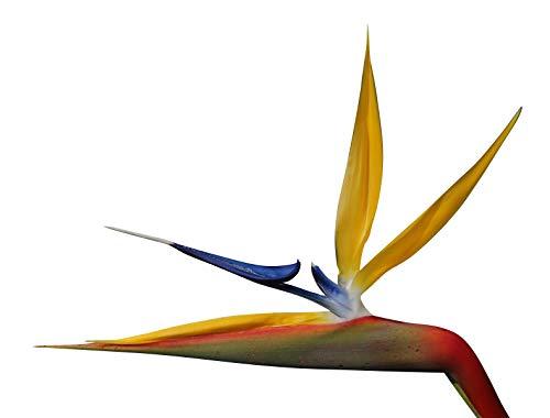Strelitzia reginae (oiseau de paradis) - 10 graines