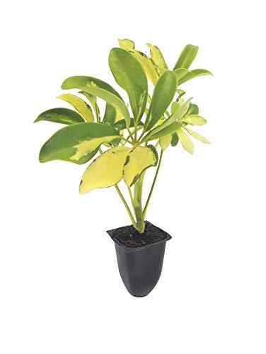 Trinette Variegated Schefflera - 10 Live Plants - Arboricola - Indoor or Outdoor Low Maintenance Shrub