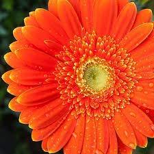 SAGEAWAY Semillas Flor del Gerbera de la Margarita Anaranjada