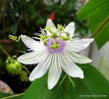Passiflora foetida apestoso pasiflora maracuyá semilla Floración 10 Semillas