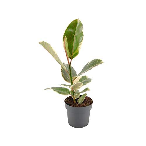 Planta Ficus Natural Marca Desconocido