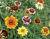 Il vous suffit de graines de fleurs???Zinnia???Tapis persan???300?graines