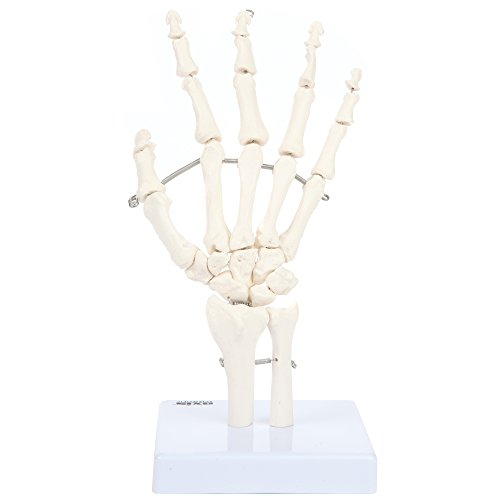 Axis Scientific Skeletal Hand with Wrist, Ulna, and Radius, Fully Articulated Flexible Hand Skeleton is Secured with Wire to Demonstrate Movement, Includes Base for Demonstration and Study and Worry Free 3 Year Warranty