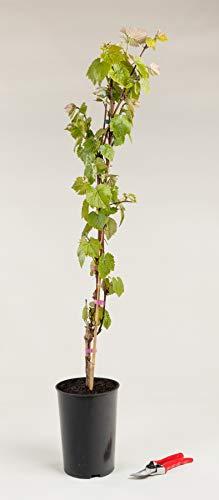 Tafeltraube Isabella - Weintraube Weinrebe Vitis Isabella 80-100 cm hoch - Garten von Ehren