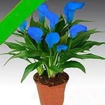 Varios colores en maceta cala bombillas 2PC / bolsa (que no es la semilla del lirio de cala) de plantas de flores importadas Bulbos 11