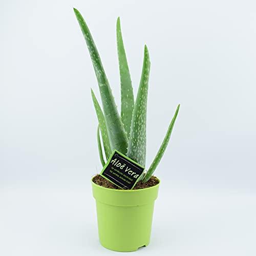 Aloe Vera Plant in 12cm Lime Green Pot Great Healing Benefits Indoor Pl