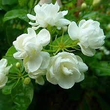 2015 Primavera Bonsai Patio Gardenia Semillas 100pcs