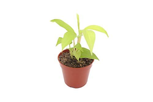 Philodendron Lemon Lime 4