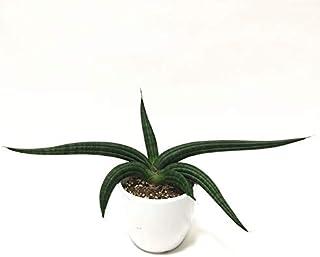 (株) 赤塚植物園 ② 珍しい サンスベリア パテンス 3.5号 白陶器鉢仕様