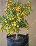 Bloom Green Co. 1bag = 50 Unids Hot Kumquat Bonsai Orange Balcón Patio En Maceta Delicioso Ãrbol Frutal Sabroso Juicy Orange Para Plantar un Jardín en Casa: 8