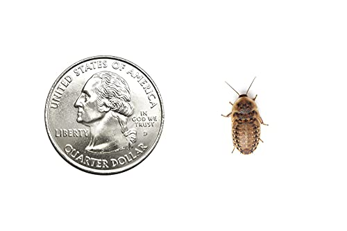 100 Live Small Dubia Roaches   Live Arrival is Guaranteed   Shipped in Cloth Bags